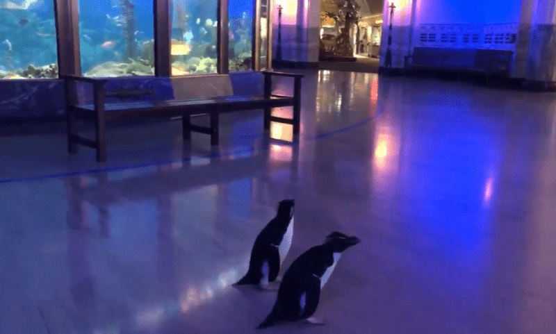 Penguins allowed to roam freely after the aquarium closed to the public, The Manc