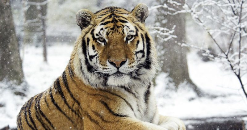 A Bronx Zoo tiger has tested positive for coronavirus, The Manc