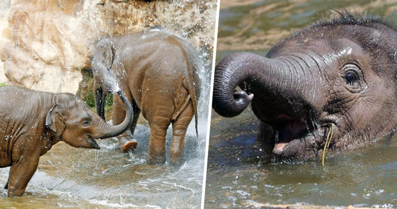 The elephants are having a pool party at Chester Zoo today and you're invited, The Manc