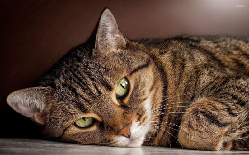First animal infected with COVID-19 has been confirmed as pet cat in UK, The Manc