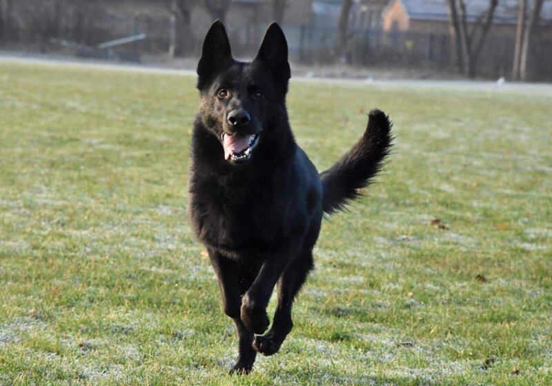 GMP dog tracks down phone stolen from ambulance worker during a roadside traffic accident, The Manc