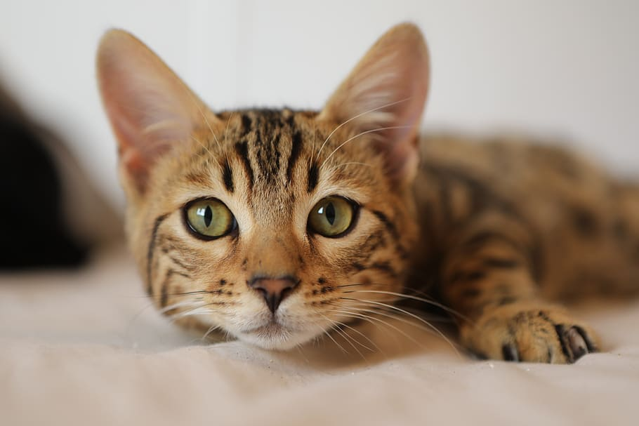 New survey reveals lockdown has made cats more friendly to their owners, The Manc