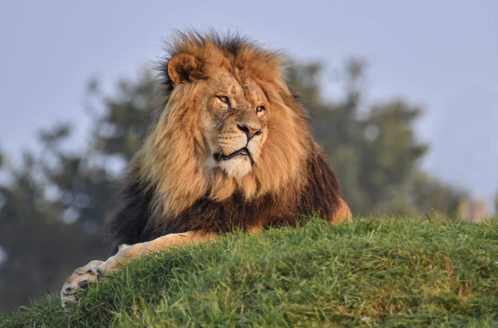 You can camp next to the lions at Yorkshire Wildlife Park from just £50 a night, The Manc