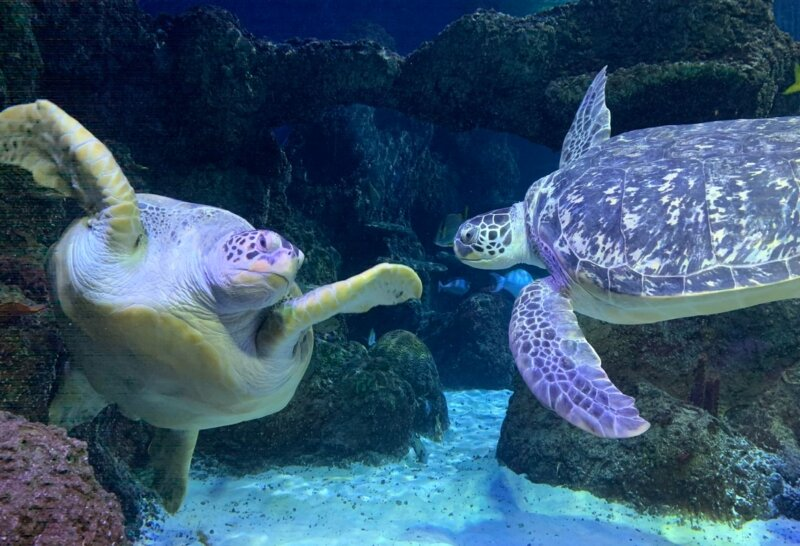 Turtles at Sea Life Manchester having 'relationship counselling' after rocky time during lockdown, The Manc