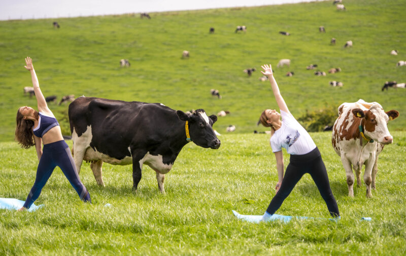 Na-moo-ste: Northerners are trying to get fit by doing yoga with cows on farms, The Manc