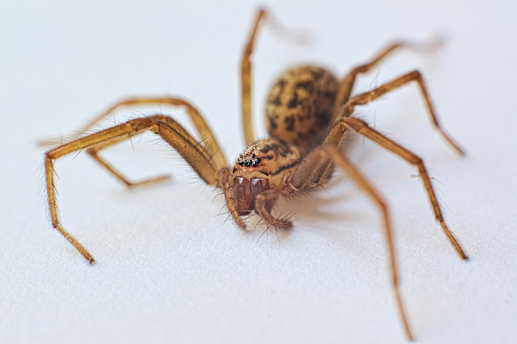 The giant house spider is back in Greater Manchester homes and it's looking for a mate, The Manc