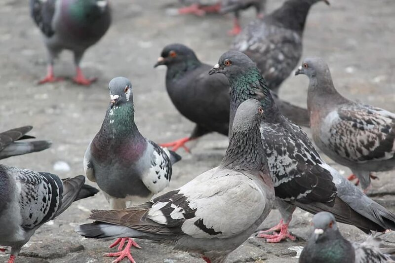 Woman fined £120 after feeding a Greggs sausage roll to pigeons in Piccadilly Gardens, The Manc