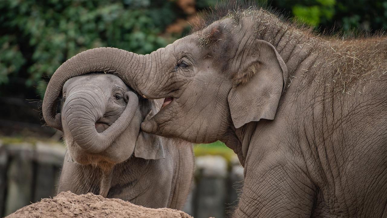 Chester Zoo announces devastating death of endangered Asian elephant, The Manc