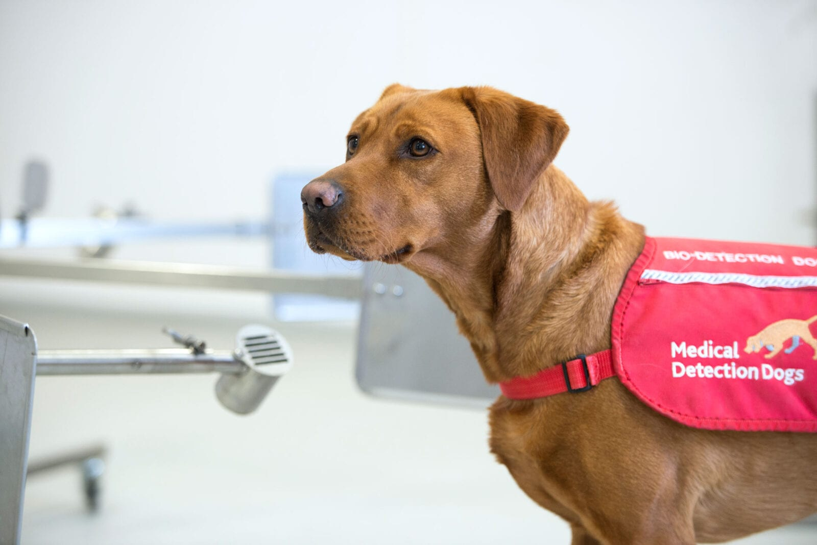 Sniffer dogs that can detect COVID-19 in humans could be coming to Manchester, The Manc
