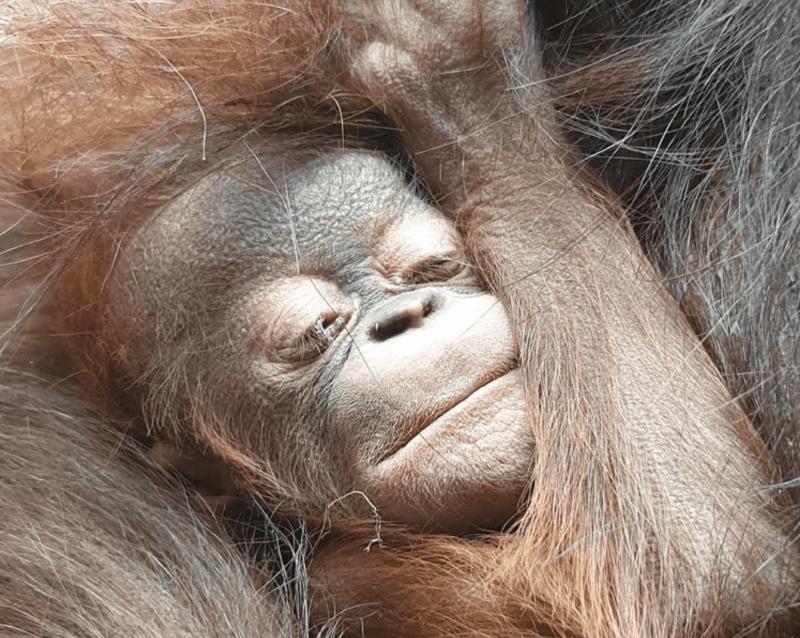 A critically-endangered Bornean orangutan has just been born at Chester Zoo, The Manc