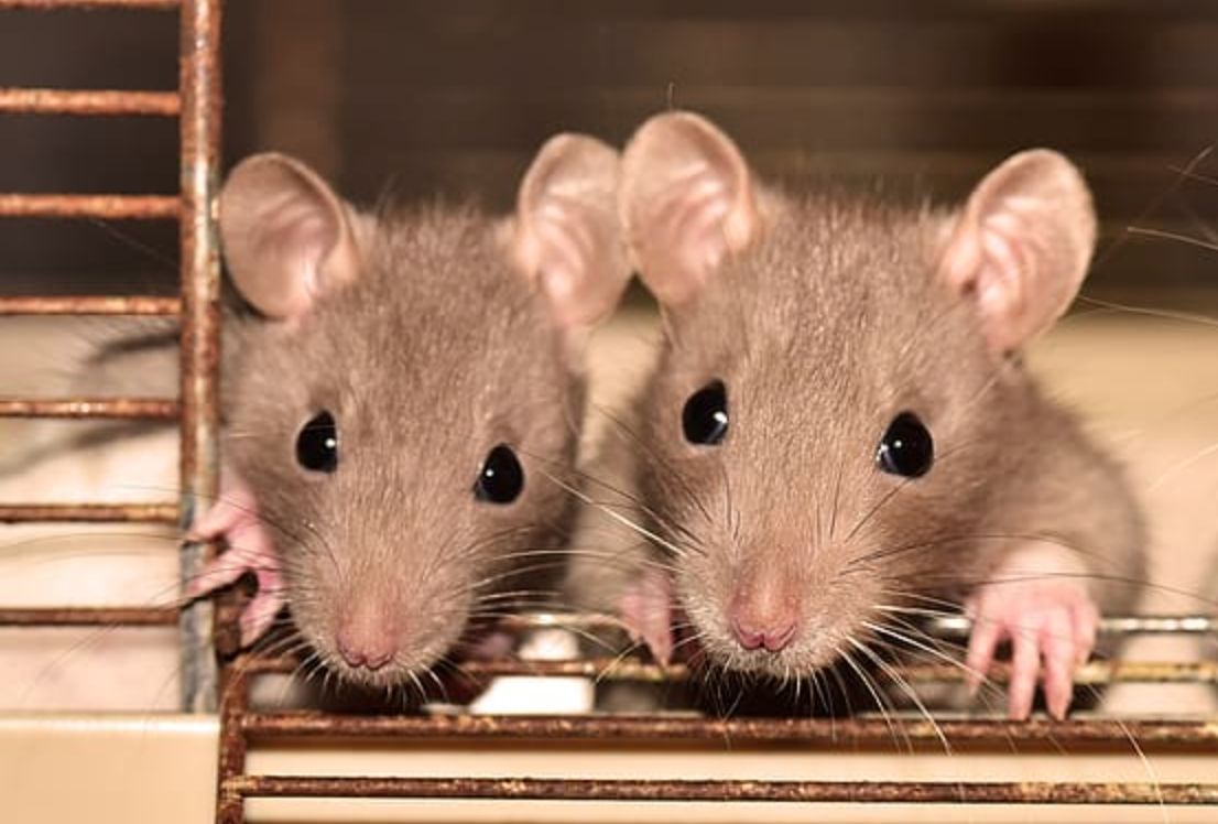 Pest controllers say plagues of rats are sneaking in through people's toilets and letterboxes, The Manc