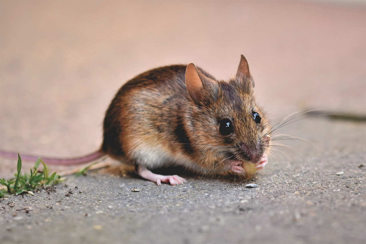 Manchester ranks 6th in the 10 Most Rat-Infested Cities in the UK, The Manc