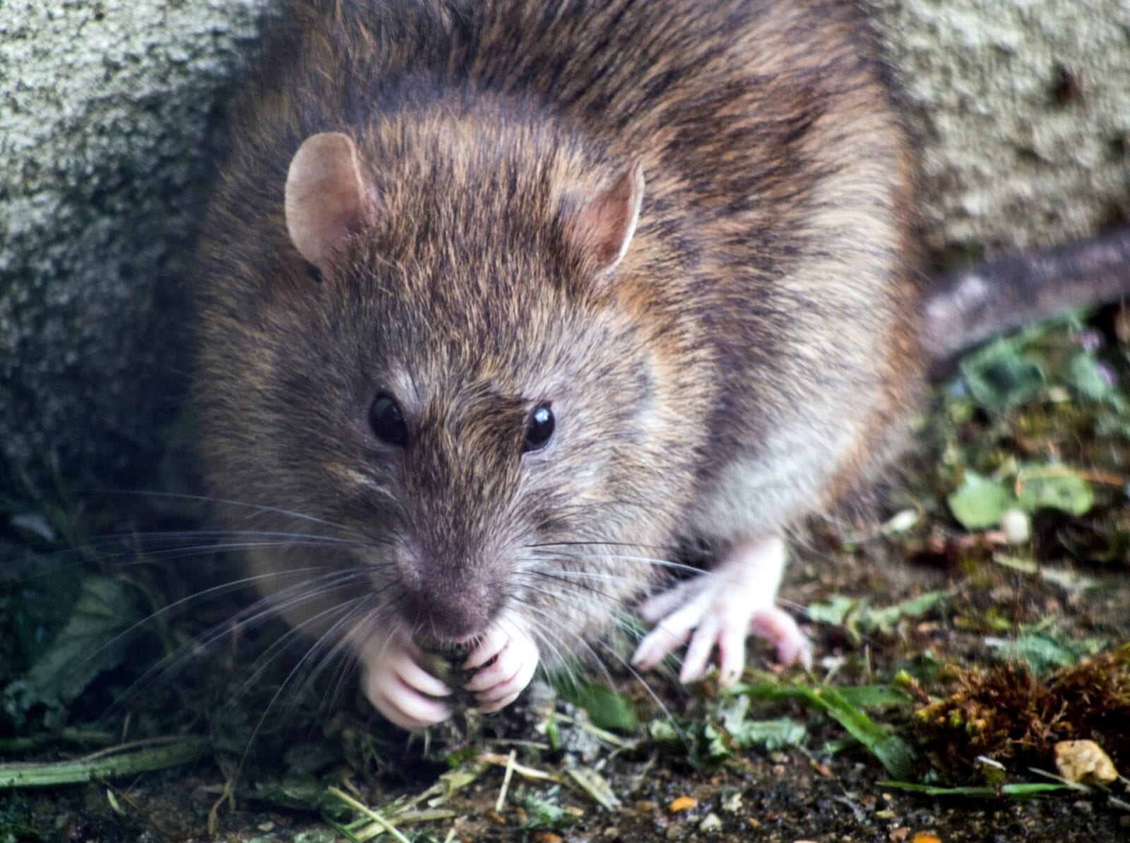Almost three-quarters of rats in Manchester immune to current pest control methods, study finds, The Manc
