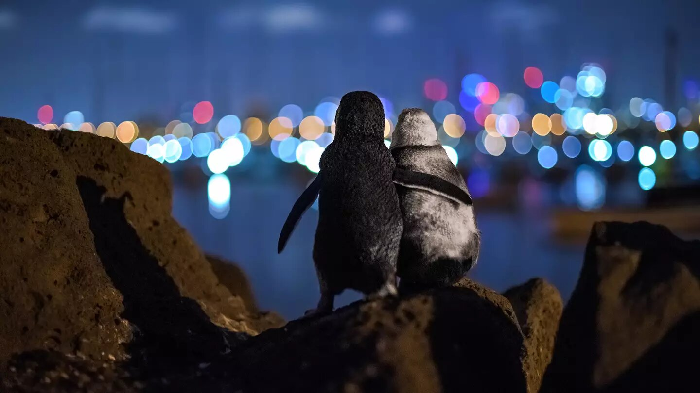 Viral picture of two widowed penguins comforting each other crowned 'Best Photo of 2020', The Manc