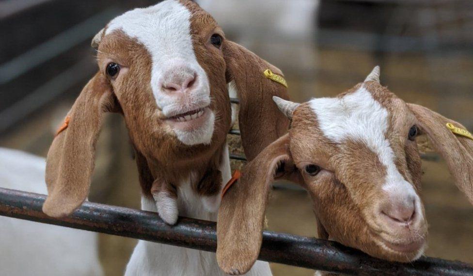 How a 'mind-bendingly daft' Goats on Zoom service made a Manc farm famous, The Manc