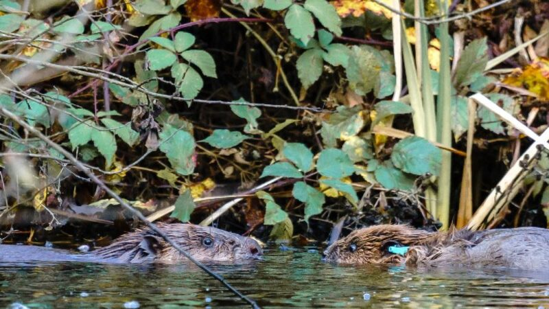 You can help pick the names of Cheshire's first beavers in over 400 years, The Manc