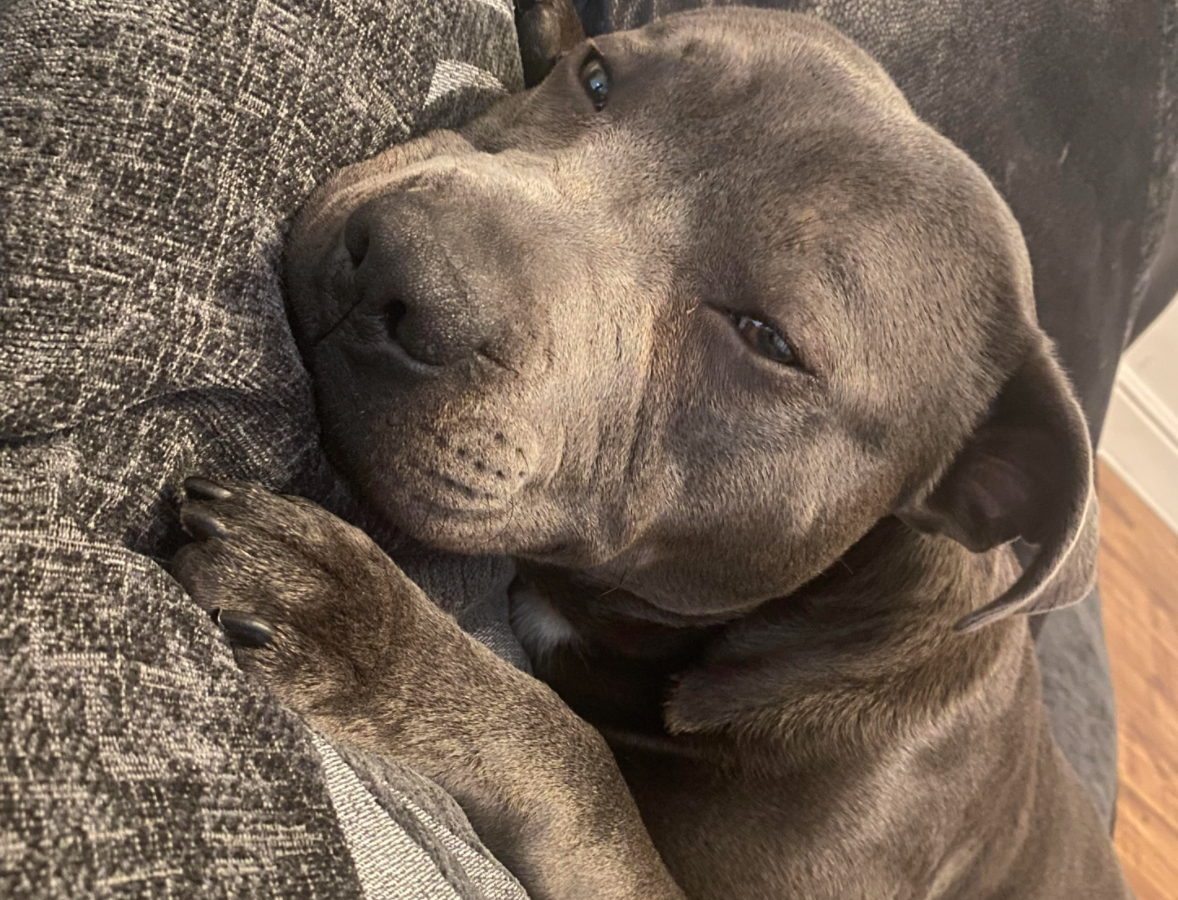 Dog owner's plea to help save beloved Staffy suffering unexplained seizures, The Manc