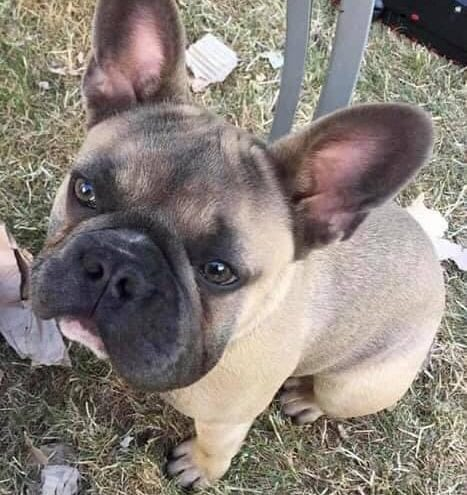 Stolen French Bulldog and eight puppies found in Manchester to be reunited with owners 225 miles away, The Manc