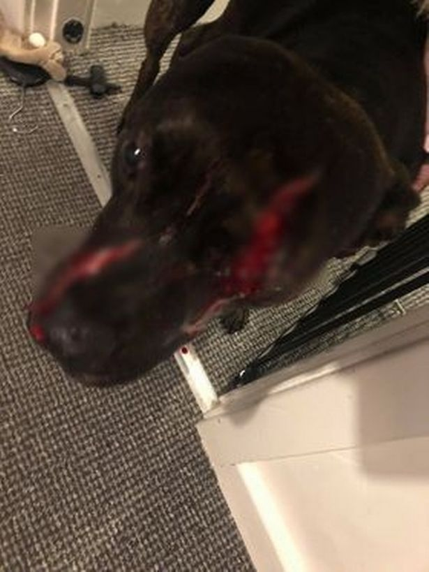 Dog loses her eye in horrific burglary – but she still protects owner's baby, The Manc