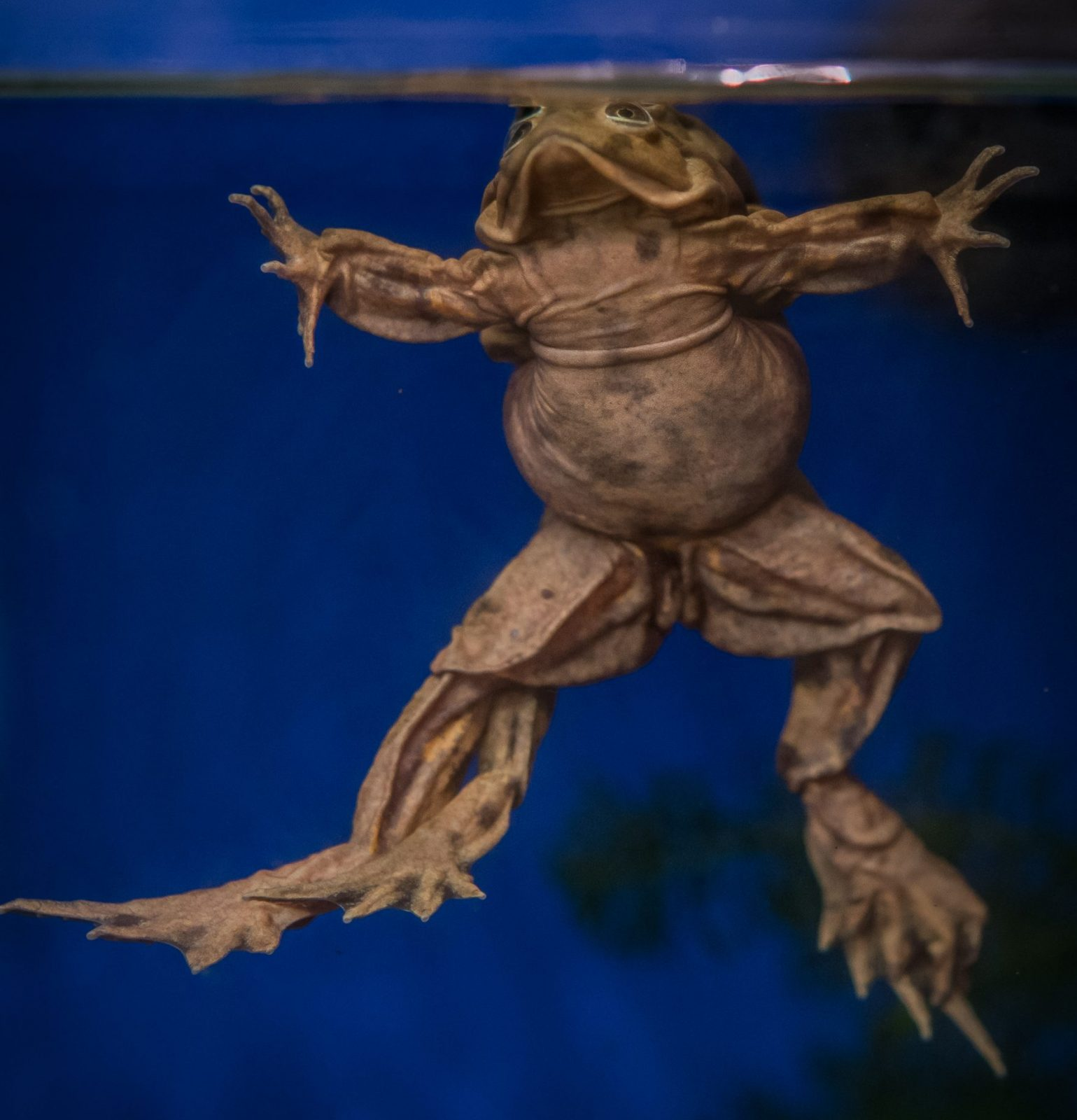 Rare 'scrotum' frogs on the edge of extinction go on display at Chester Zoo, The Manc