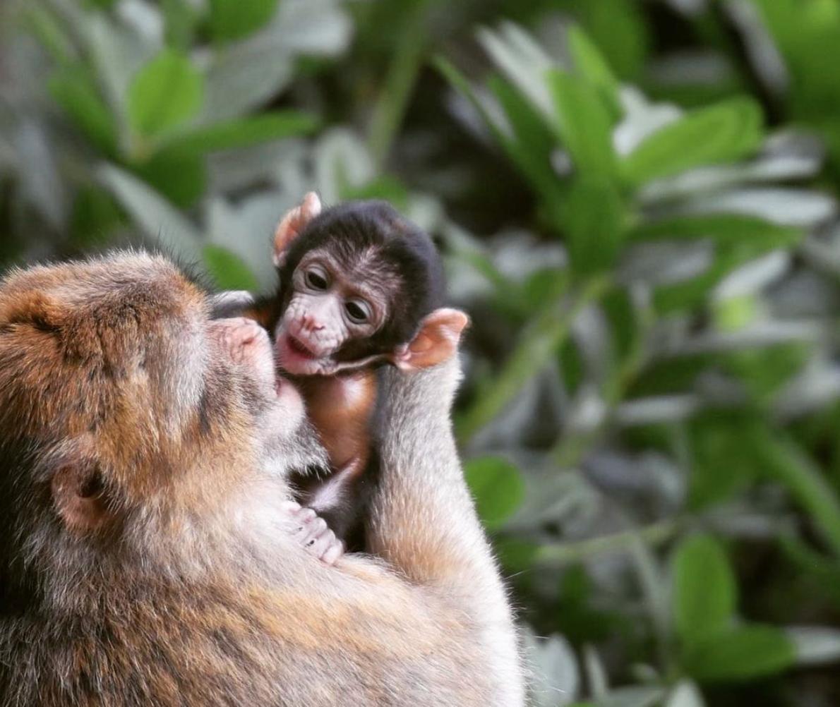 Nine new baby monkeys born at Trentham Monkey Forest, The Manc