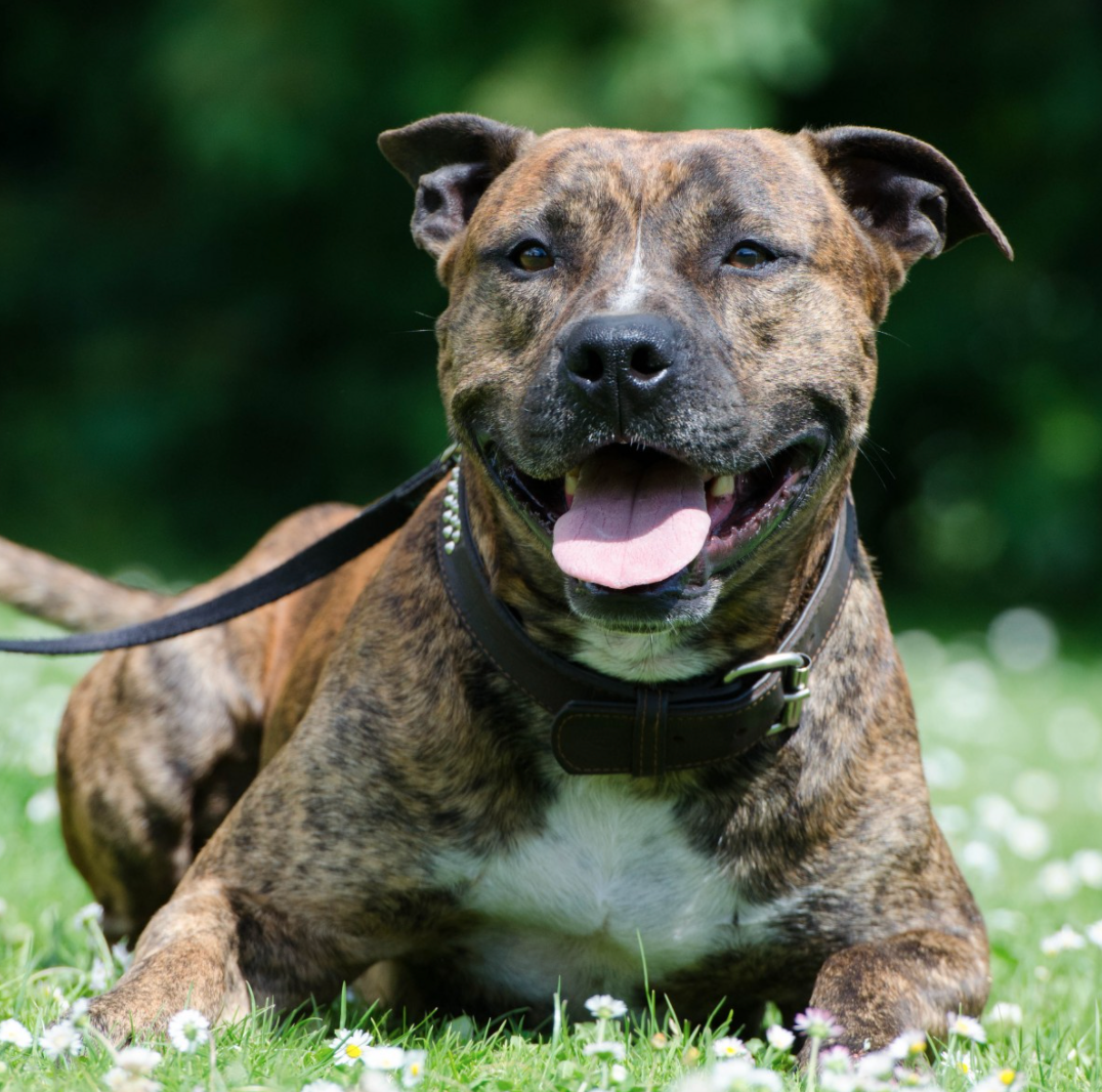 Staffordshire Bull Terriers are officially the UK's favourite dog breed, The Manc