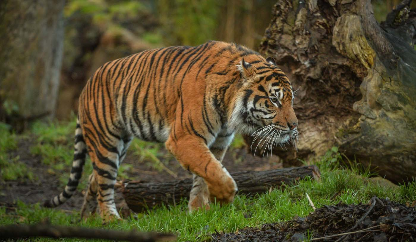 Chester Zoo is hiring someone to look after its lions, tigers and bears, The Manc