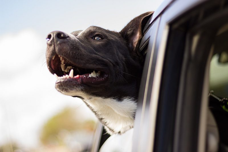 Did you know you can get a £5,000 fine for driving with an unrestrained dog?, The Manc