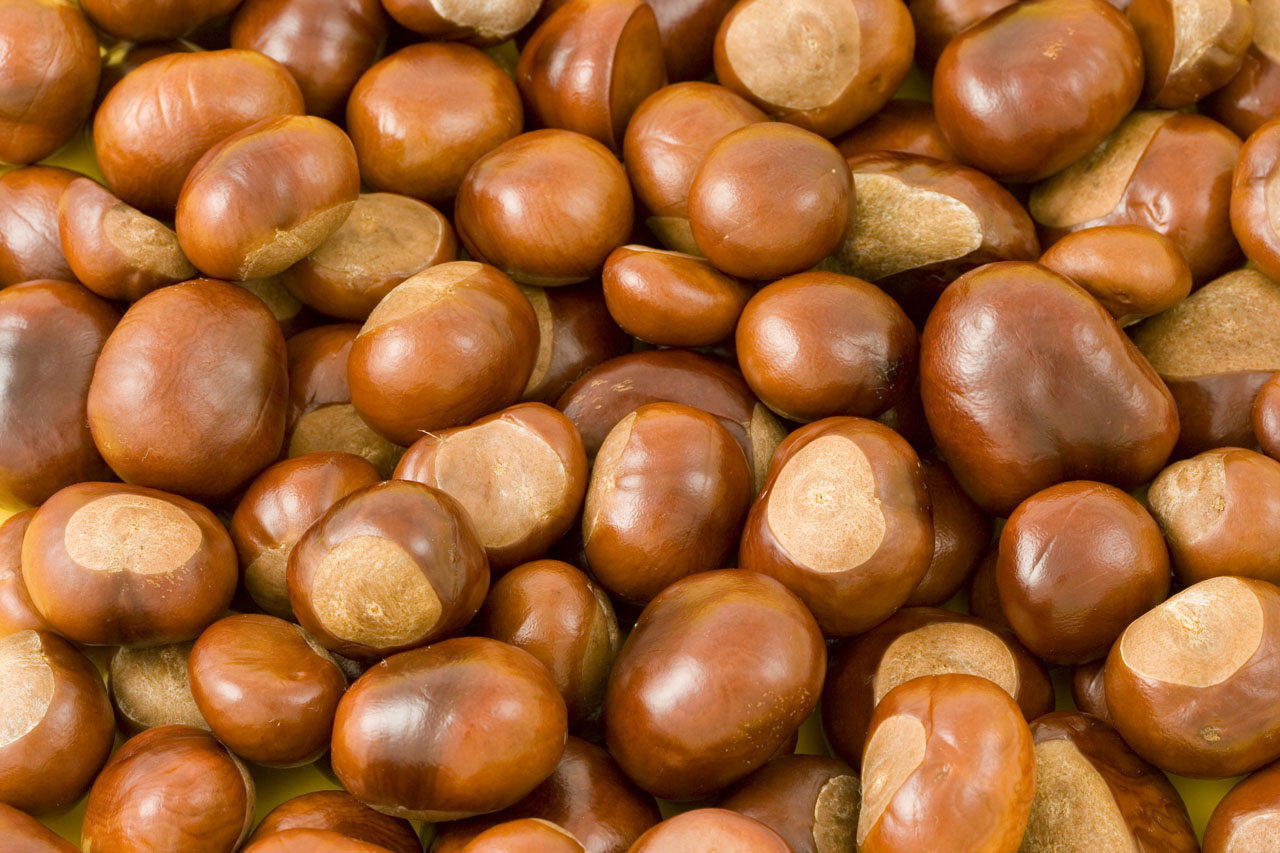 Fresh warning reminds dog owners about 'poisonous' conkers and acorns, The Manc