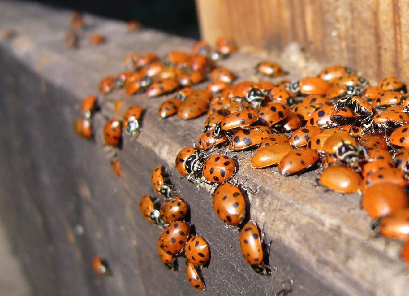 Have you noticed an influx of ladybirds this past weekend? This is why, The Manc